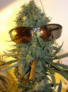 A giant marijuana bud with glasses and cigar
